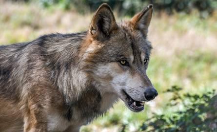 Uwaga na wilki niedaleko Przemyśla. Urząd gminy w Dubiecku ostrzega mieszkańców