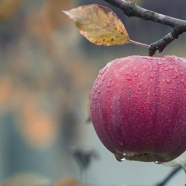 Skandal ze skupem interwencyjnym w Świętokrzyskiem. W grudniu zawieźli jabłka z... października