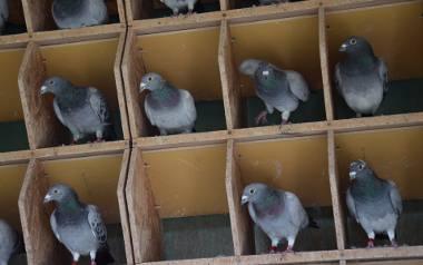Ludzi, zwłaszcza wojskowych, zawsze fascynowała niezwykła umiejętność gołębi pocztowych. Wracają do gniazda nawet z odległości ponad tysiąca kilomet