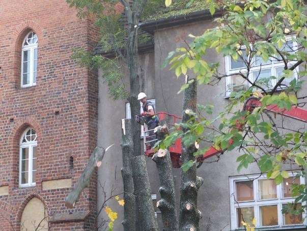 Rzeź w centrum Opola. 37 drzew do wycinki. Powód? Inwestycja