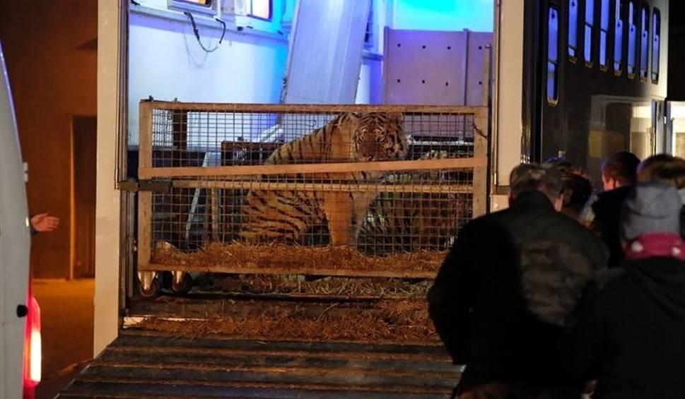 """Film do artykułu: """"Spędziły wiele dni w głodzie, we własnych odchodach, czekając na śmierć"""". Jeden z tygrysów pozostaje w ciężkim stanie"""