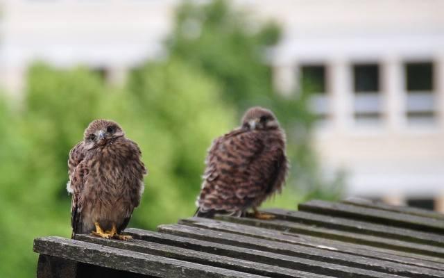 Ptaki Drapieżne W Polsce Kurierlubelskipl