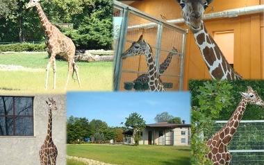 Nowy pawilon ekspozycyjny i powrót żyraf do Śląskiego ZOO