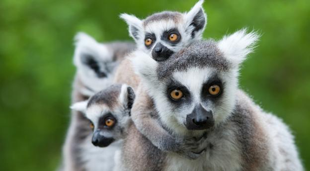 Lemur, kot czy panda? Czy rozpoznasz zwierzę po fragmencie zdjęcia? QUIZ przyrodniczy