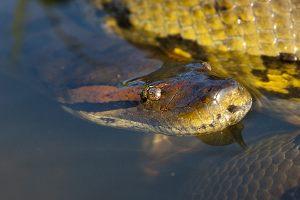 Czy anakonda jest wężem jadowitym?