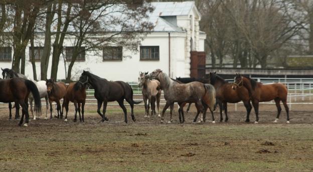 Co wiesz o stadninie koni w Janowie Podlaskim?
