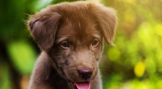 Jaki pies z wyrośnie z tego szczeniaka? Czy odgadniesz? QUIZ