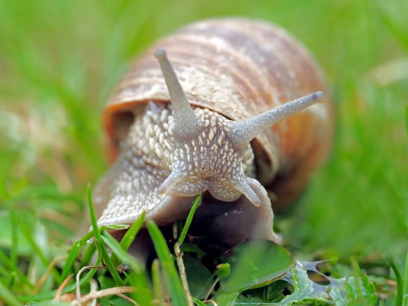 Niejasna interpretacja przepisów unijnych sprawiła, że ślimaka winniczka można było uznać za: