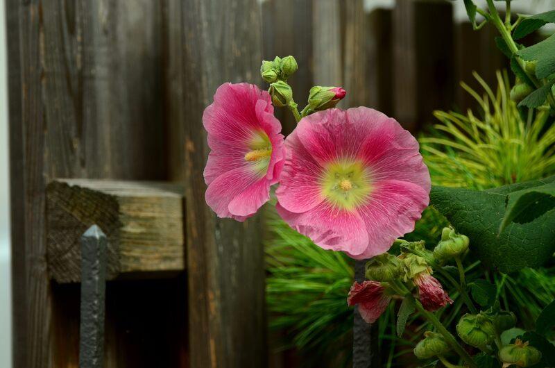Dorastają do ponad 2 m wys. i mają duże kwiaty w różnych kolorach. To: