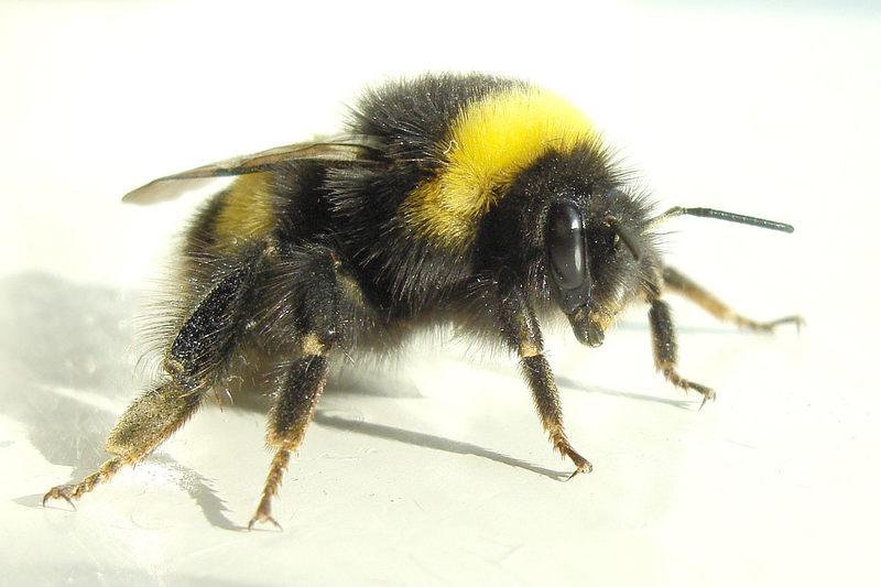 Widoczny na zdjęciu, krępy, kudłaty owad to: